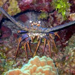 A Spiny Lobster hiding in crevice