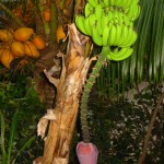 Typical Banana tree with coconuts in the background